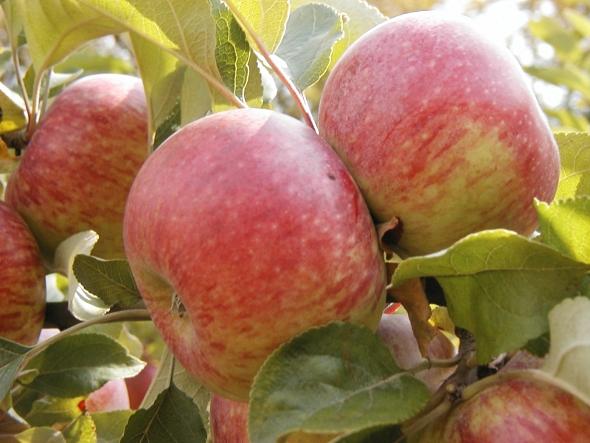 Le conservatoire d esp ces fruiti res et vignes anciennes de puycelsi conservatoire du - Variete de pomme de terre ancienne ...
